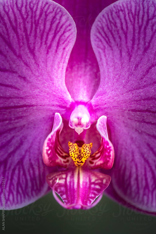 phaleonopsis orchid by alan shapiro for Stocksy United