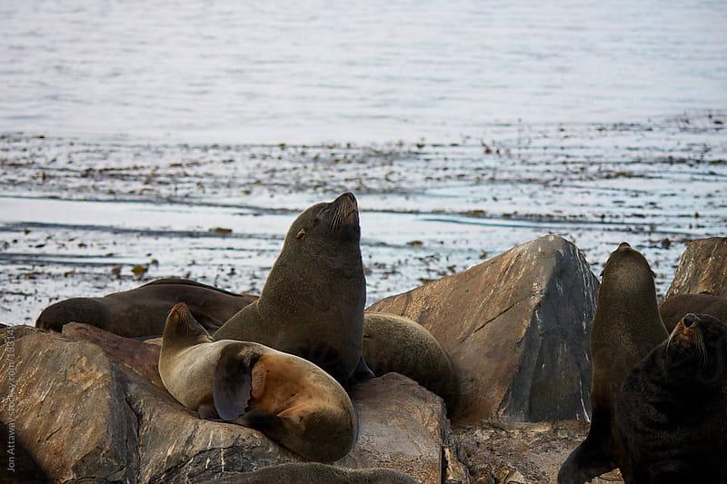 Proud sea lion by Jon Attaway for Stocksy United
