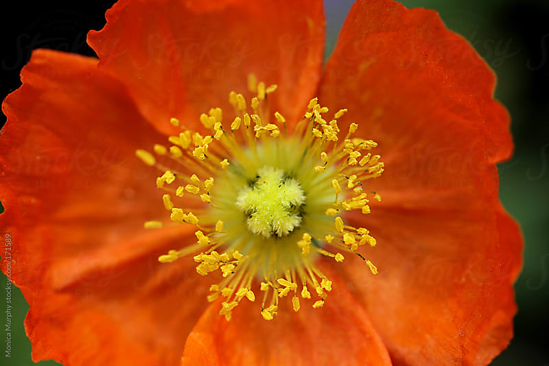 Center of bright orange flower with yellow stamens by Monica Murphy for Stocksy United