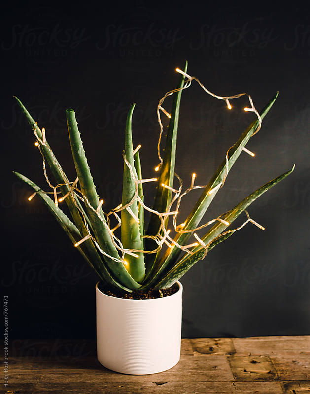 Aloe vera with fairy lights. by Helen Rushbrook for Stocksy United