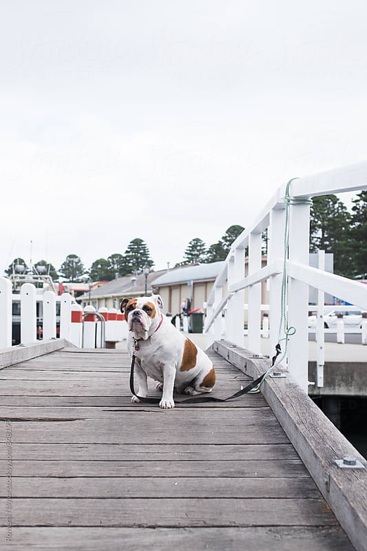 Bulldog sitting on wharf by Rowena Naylor for Stocksy United