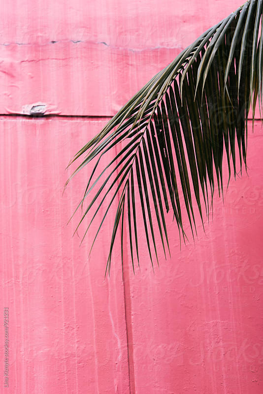 Palm Leave on pink background by Lina Kiznyte for Stocksy United