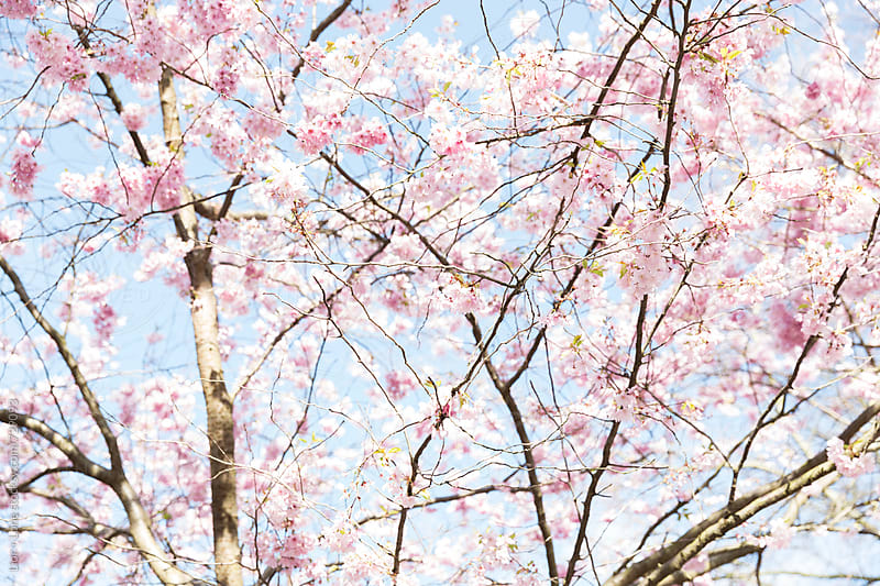 cherry tree blossoming in spring against blue sky by Lior + Lone for Stocksy United