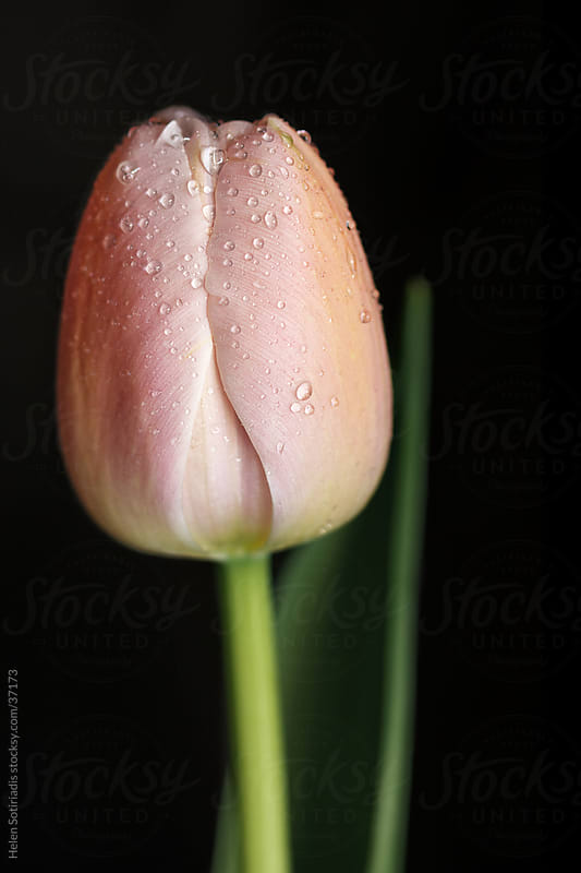 Tulip on a Black Background by Helen Sotiriadis for Stocksy United