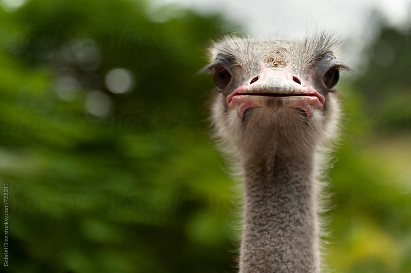 Ostrich head closeup by Gabriel Diaz for Stocksy United