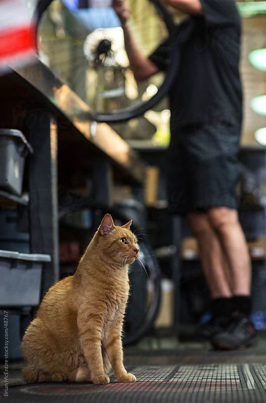 Local Bike Shop: Store Cat Observes Mechanics At Work by Brian McEntire for Stocksy United