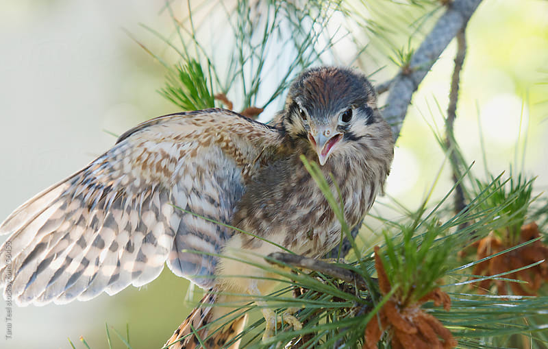 Baby hawk stretches his wing.  by Tana Teel for Stocksy United