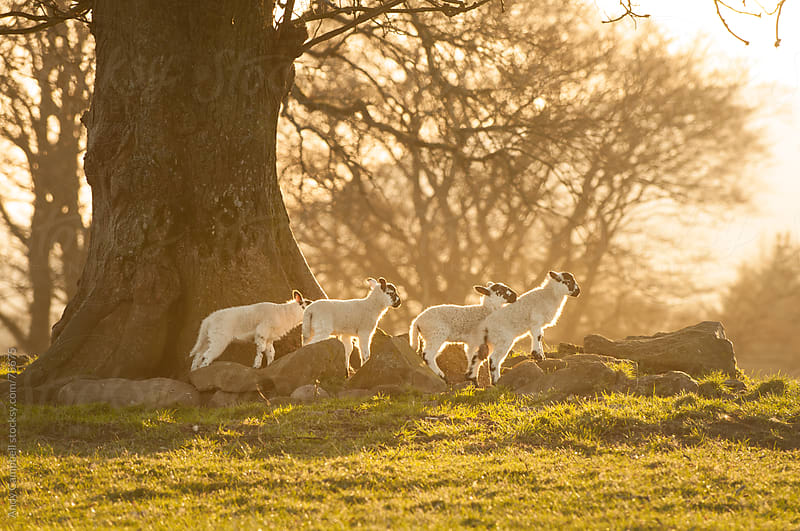 Organically raised newborn spring lambs explore a field by Andy Campbell for Stocksy United