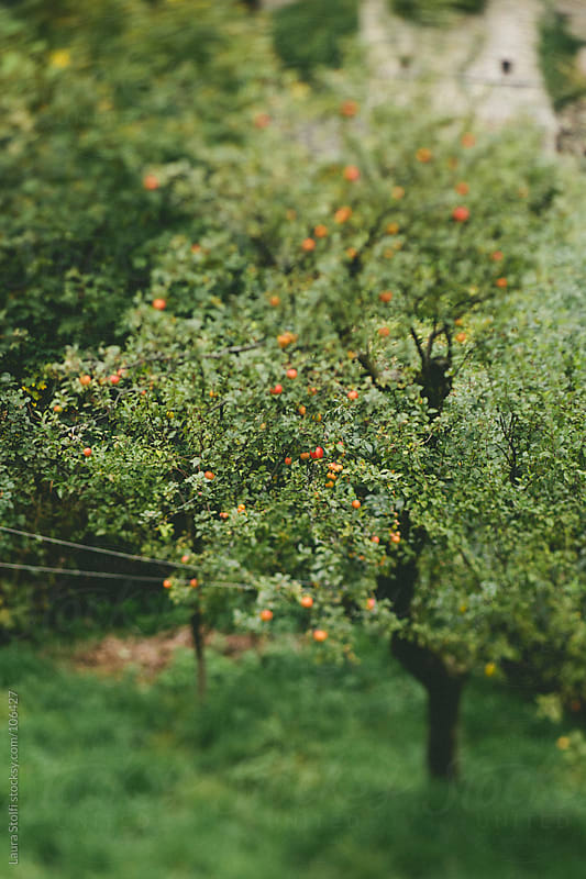 Blurred image of apple trees with fruits on them in mountain field by Laura Stolfi for Stocksy United