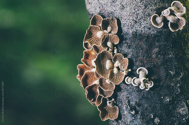 wild mushrooms on old tree by Cosma Andrei for Stocksy United