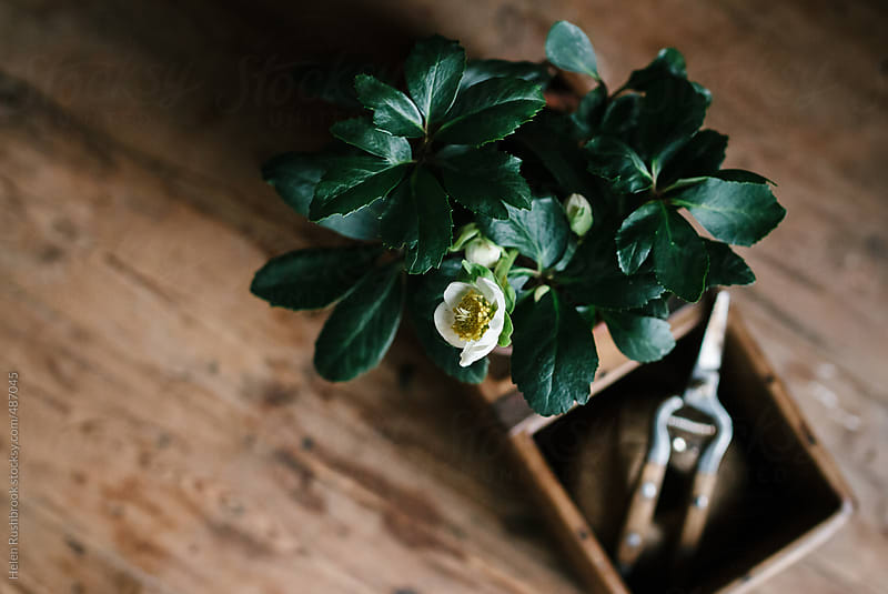 A white flowering Hellebore in a reclaimed wooden box, with twine and secateurs. by Helen Rushbrook for Stocksy United