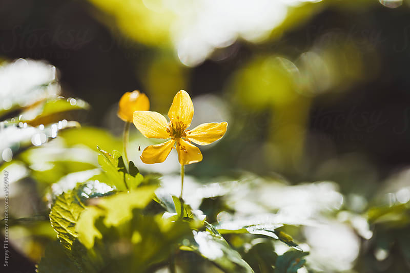 Small Yellow Flower by Sergey Filimonov for Stocksy United
