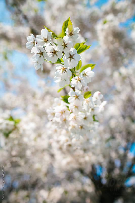 Cherry blossoms by Zocky for Stocksy United