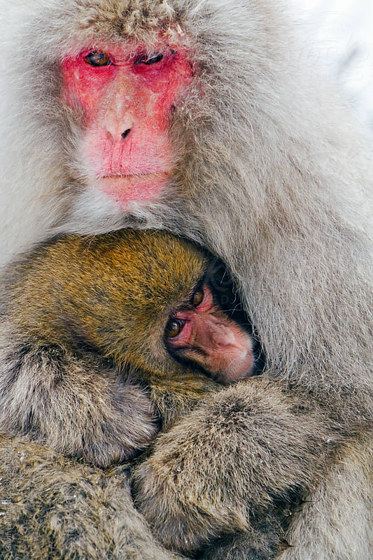 Japanese macaque (Macaca fuscata) / Snow monkey, mother and baby keeping warm in the snow,  Joshin-etsu National Park, Honshu, Japan by Gavin Hellier for Stocksy United