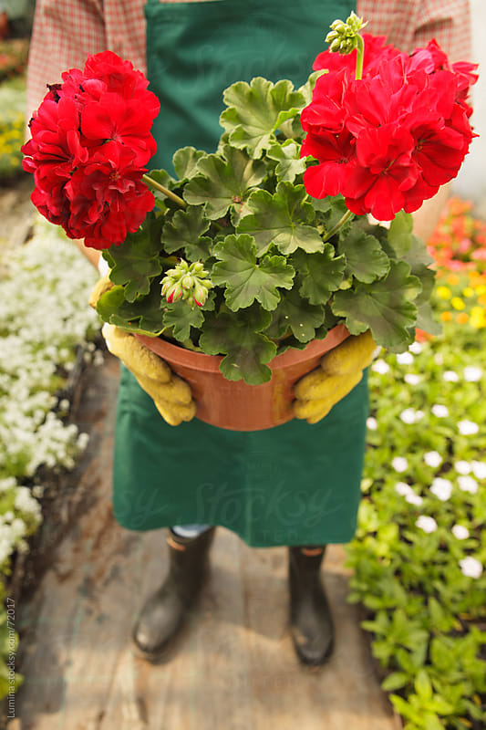 Gardener Holding Red Potted Flower by Lumina for Stocksy United