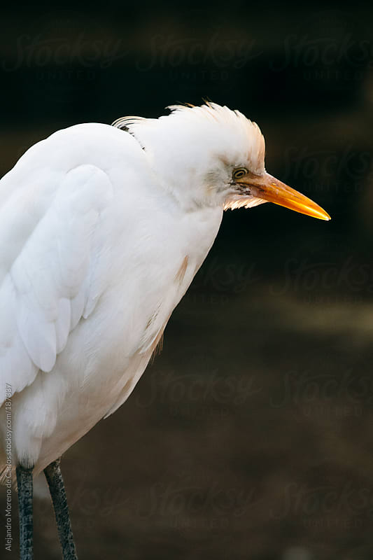 White aquatic bird by Alejandro Moreno de Carlos for Stocksy United