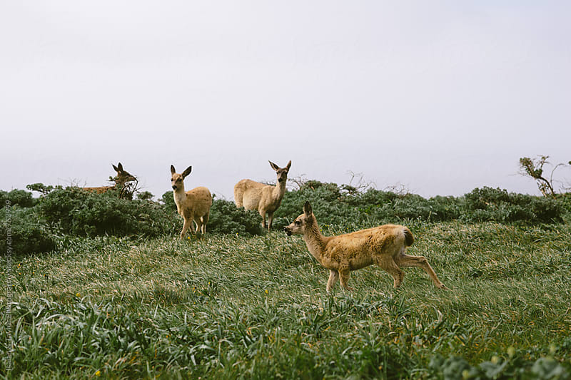 Multiple deer in grass by Isaiah & Taylor Photography for Stocksy United