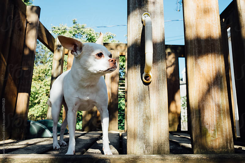 A white chihuahua boston terrier mix puppy on top of the playground by J Danielle Wehunt for Stocksy United