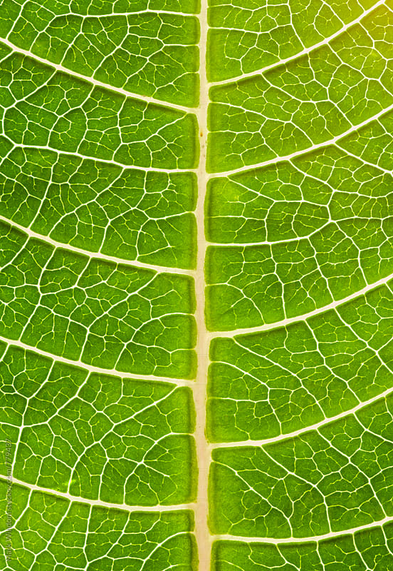 Poinsettia leaf detail, closeup by Mark Windom for Stocksy United