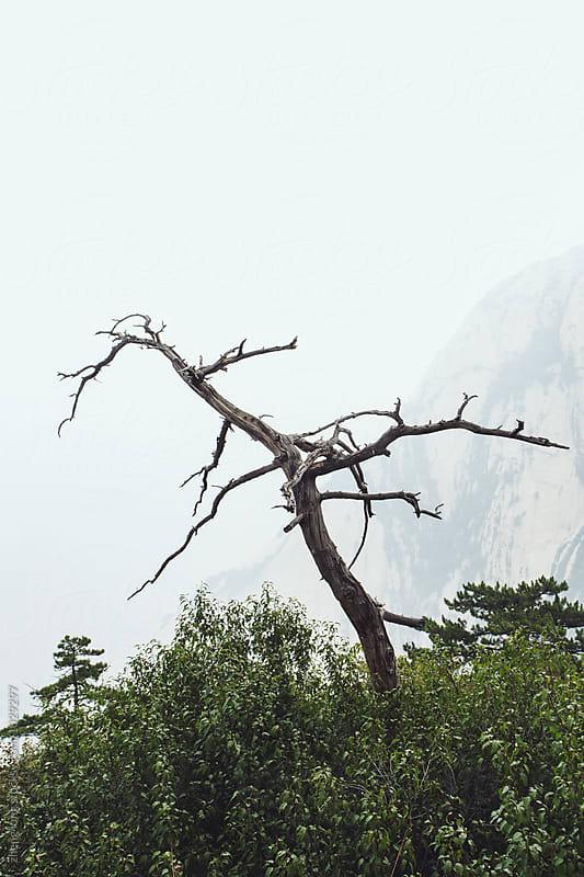 Dead tree in Huashan Mountain  by zheng long for Stocksy United