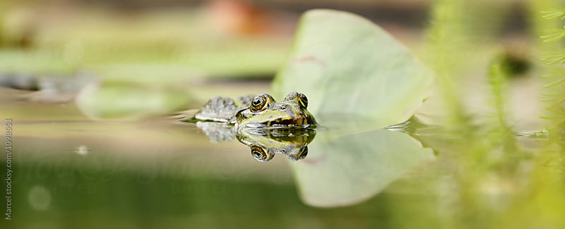 Frog in a pond by Marcel for Stocksy United