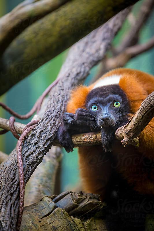 Red-ruffed Lemur by ALAN SHAPIRO for Stocksy United