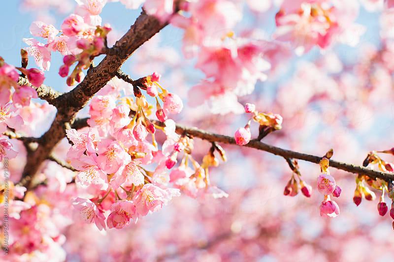 Japan - Pink Sakura Blossoms by Julien L. Balmer for Stocksy United