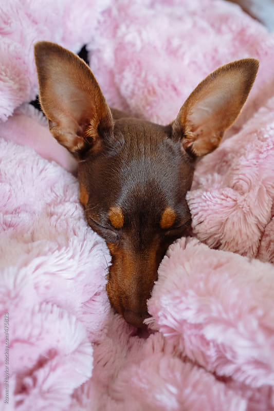 Cute puppy wrapped in plush throw by Rowena Naylor for Stocksy United
