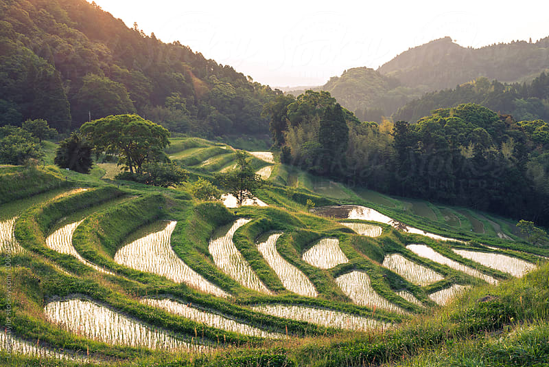 Morning Light Over Japanese Rice Paddies by Leslie Taylor for Stocksy United