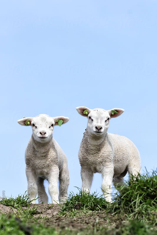 Two cute newborn lambs in spring by Marcel for Stocksy United