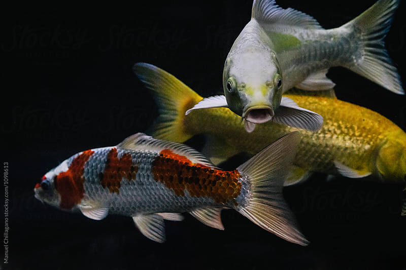 Close-up of three different colored Koi fish in a fish tank by Manuel Chillagano for Stocksy United