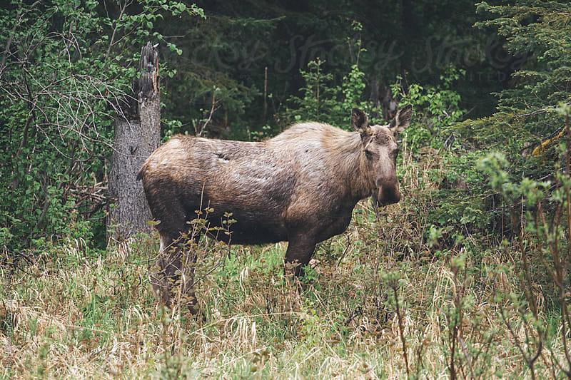 Momma Moose 2 by Jake Elko for Stocksy United