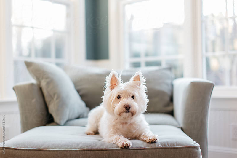 Cute white dog laying on an ottoman  by Jakob for Stocksy United