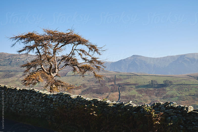 Tree and drystone wall. Kirkstone, Cumbria, UK. by Liam Grant for Stocksy United
