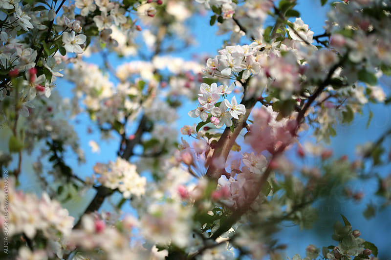Flowering Apple Trees On A Bright Spring Day by ALICIA BOCK for Stocksy United