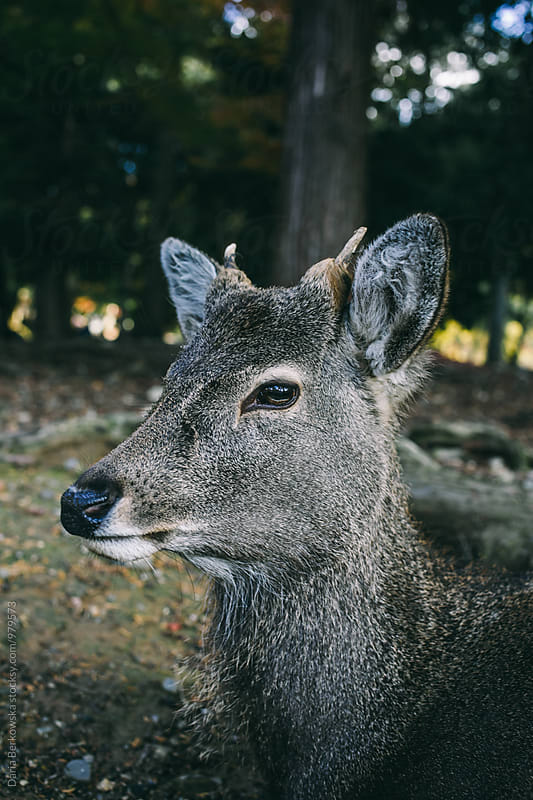 Deer in Nara Park, Japan by Daria Berkowska for Stocksy United