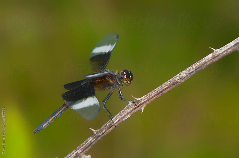 Widow Skimmer Dragonfly on a brier by David Smart for Stocksy United