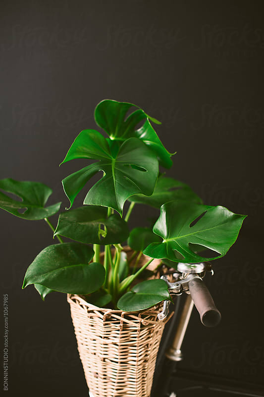 Closeup of a vintage bicycle holding a plant in a basket on black wall. by BONNINSTUDIO for Stocksy United