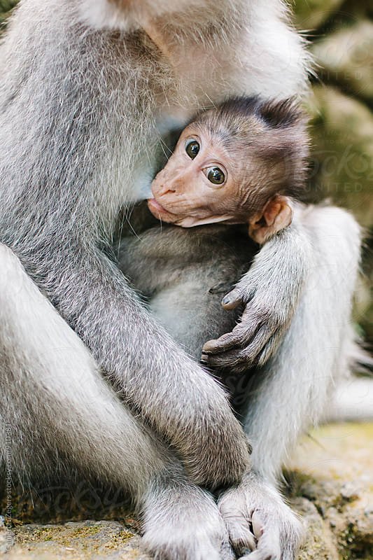 Infant monkey nursing by Cameron Zegers for Stocksy United
