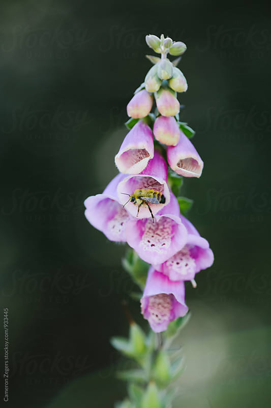 bee on foxglove flower by Cameron Zegers for Stocksy United