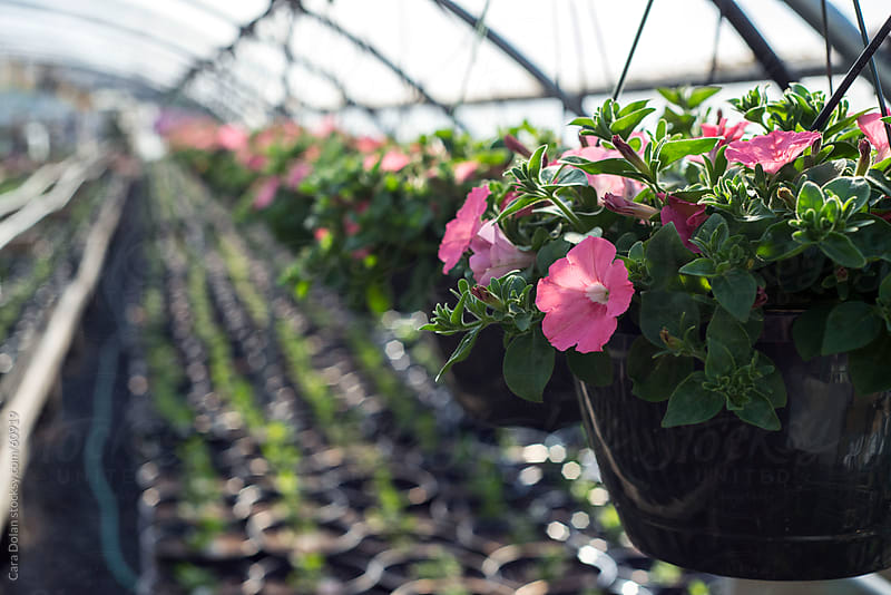 A row of pink petunia plants hang in a greenhouse  by Cara Dolan for Stocksy United