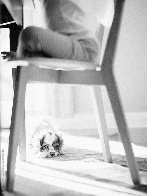 cute little dog waits for food to fall underneath a dining room chair by Meaghan Curry for Stocksy United