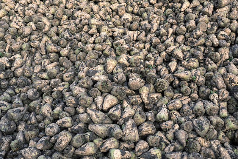 A pile of harvested Sugar Beet  by Paul Phillips for Stocksy United