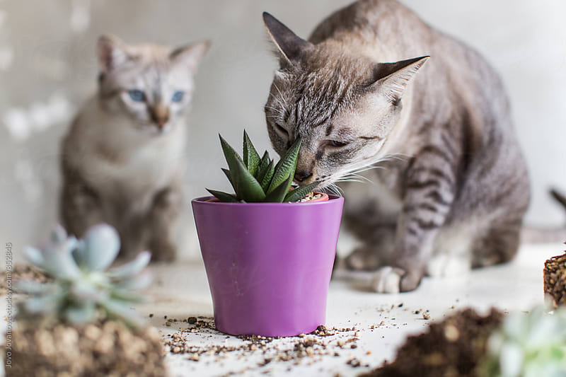 A domestic cat sniffing a succulent plant in a purple pot while another cat looks on  by Jovo Jovanovic for Stocksy United