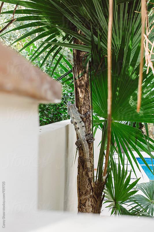 Iguana climbing up Palm Tree by Carey Shaw for Stocksy United