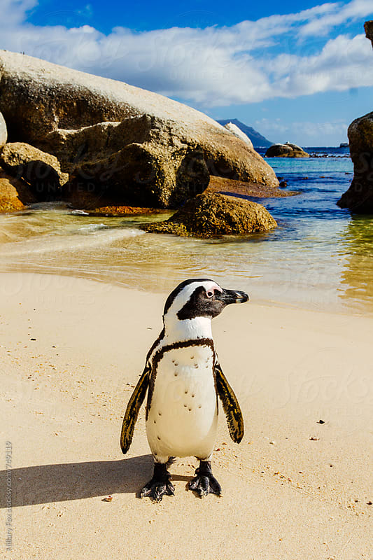 African Penguin by Hillary Fox for Stocksy United