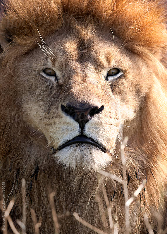 Sunlit Male Lion Closeup Portrait  by Brandon Alms for Stocksy United