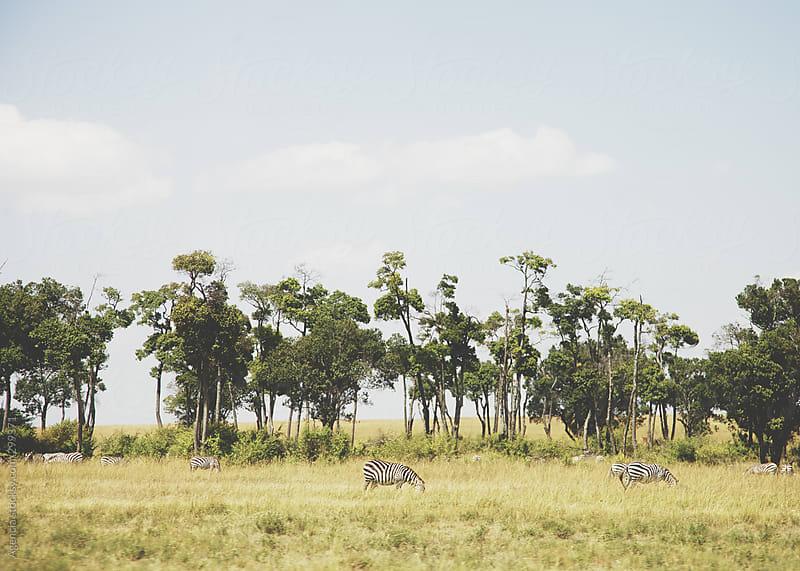 Zebras Grazing by Agencia for Stocksy United