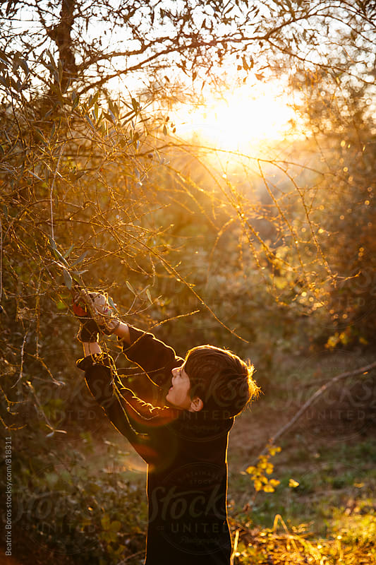 Boy helps trimming the olive branches at sunset by Beatrix Boros for Stocksy United
