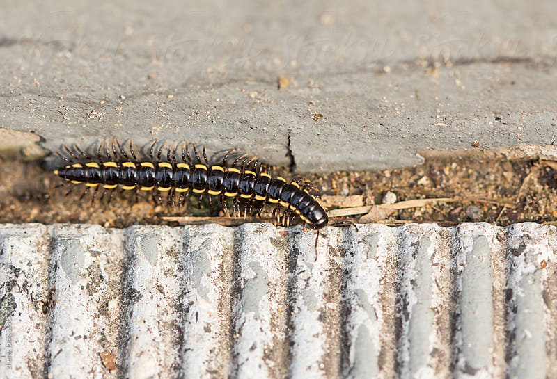centipede by zheng long for Stocksy United